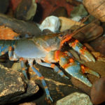The northern hairy crayfish Euastacus reductus (Riek 1969)
