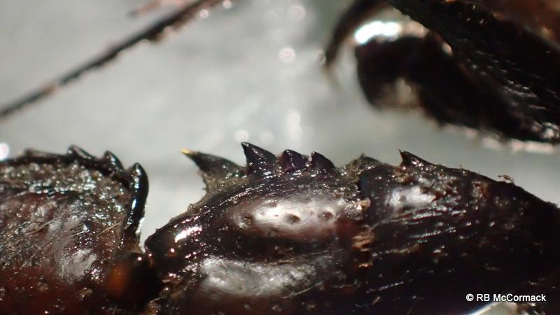 Spec 6324 Euastacus n.sp left chela, carpus