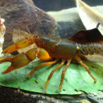 The Balan spiny crayfish Euastacus balanensis (Morgan 1988)